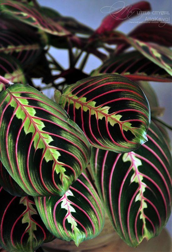 Folhas da maranta-bigode-de-gato.