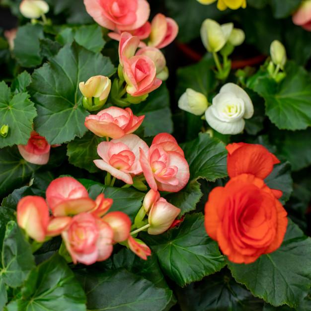 Flores da begônia.