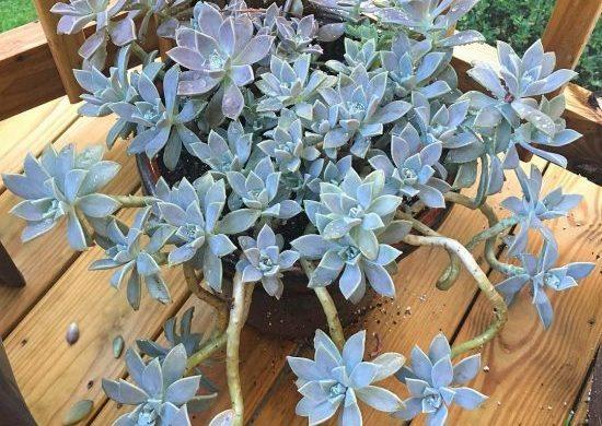 Tipos de suculentas: arbusto de planta fantasma.