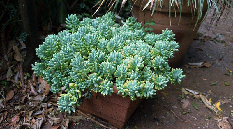 Tipos de suculentas: arbusto de feijão-de-geleia.