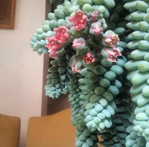 Tipos de suculentas: dedo-de-moça com flores.