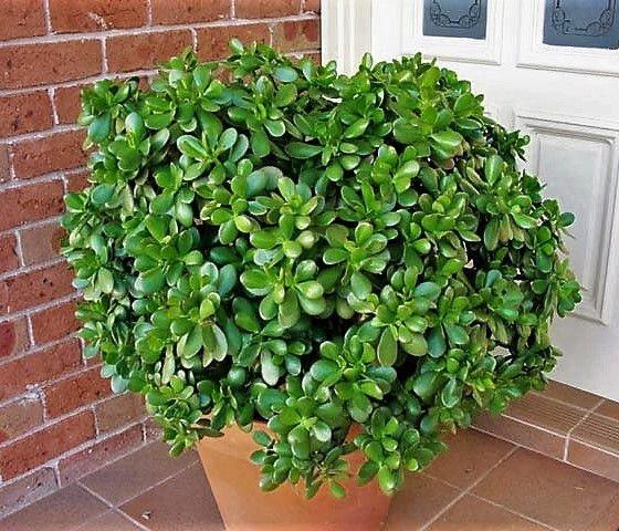 Tipos de suculentas: arbusto de planta jade.