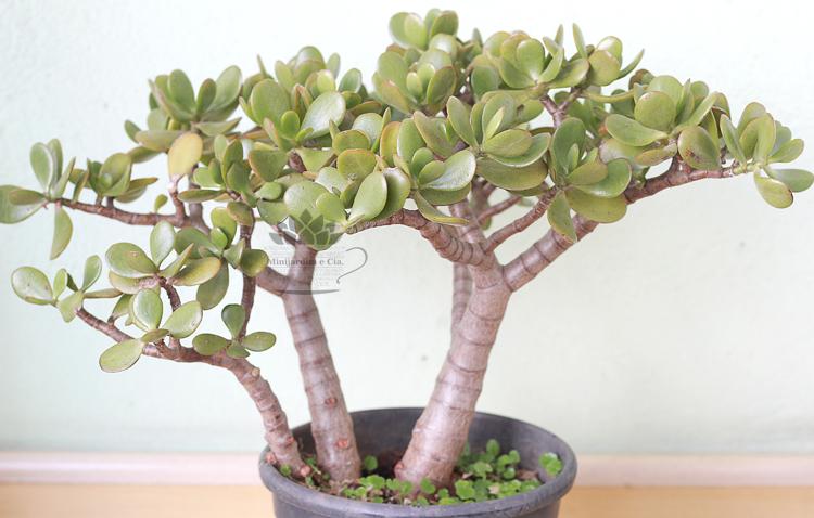 Tipos de suculentas: bonsai de planta jade.
