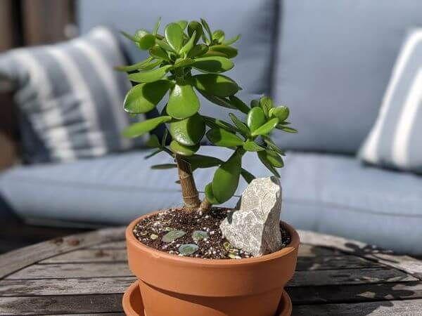 Tipos de suculentas: vaso pequeno de planta jade.