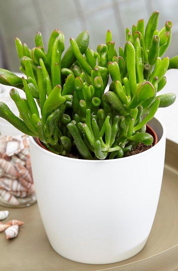 Tipos de suculentas: vaso pequeno com orelha de shrek.