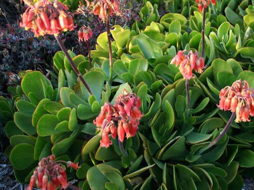 Arbusto de Cotyledon orbiculata florido.