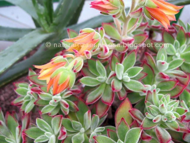 """Echeveria pulvinata """"Ruby"""" com flores."""