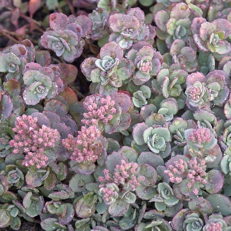 Arbusto de Sedum cautiola.