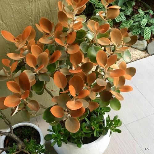 Vaso com arbusto de Colher de cobre.