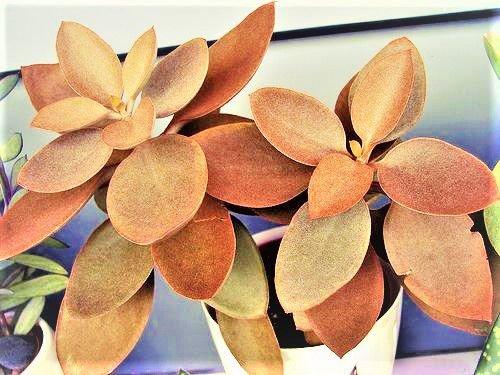 Vaso pequeno com planta colher de cobre.