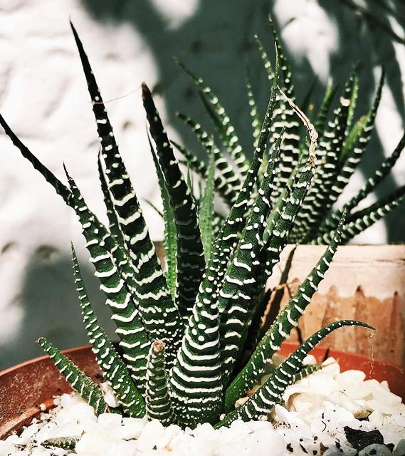 Vaso com planta zebra e pedras brancas.