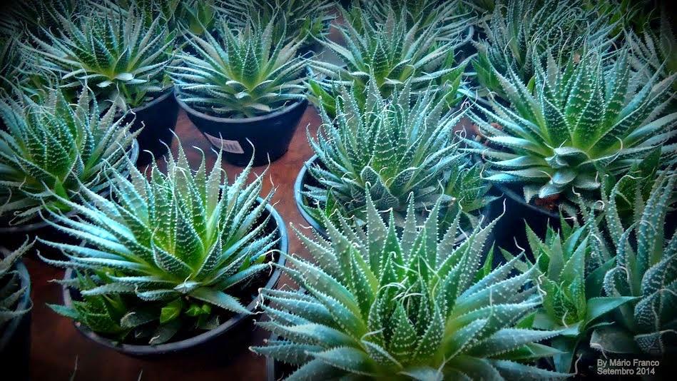Vários vasos de Aloe aristata.