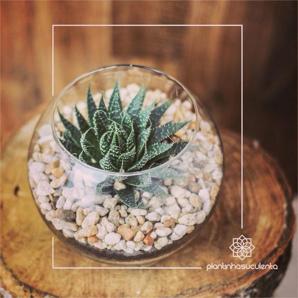 Terrário pequeno com Aloe aristata.