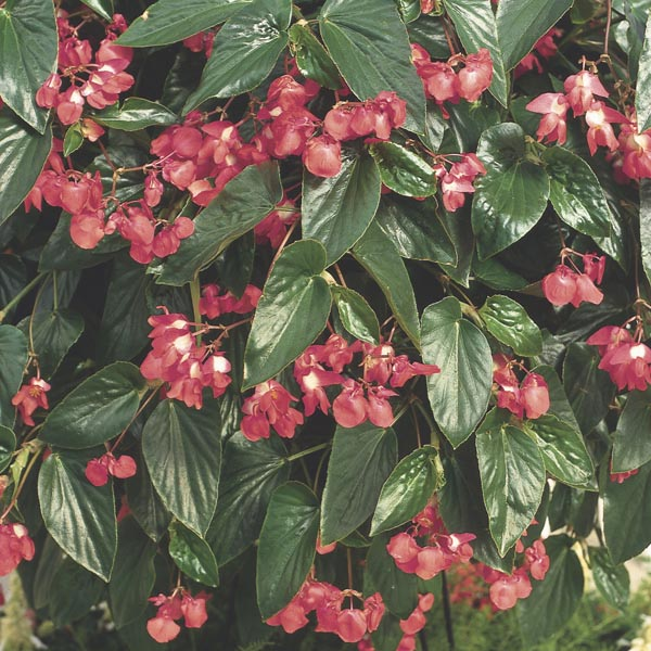 Flores de begônia-asa-de-anjo