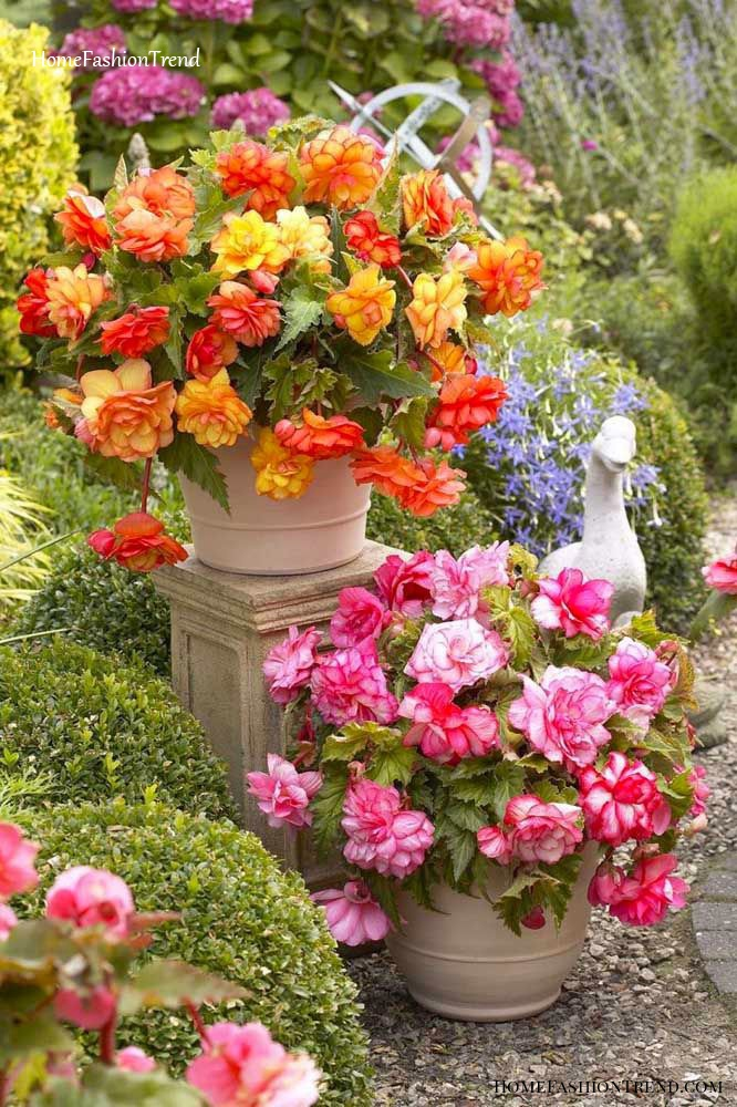 Jardim luxuoso com begônia.