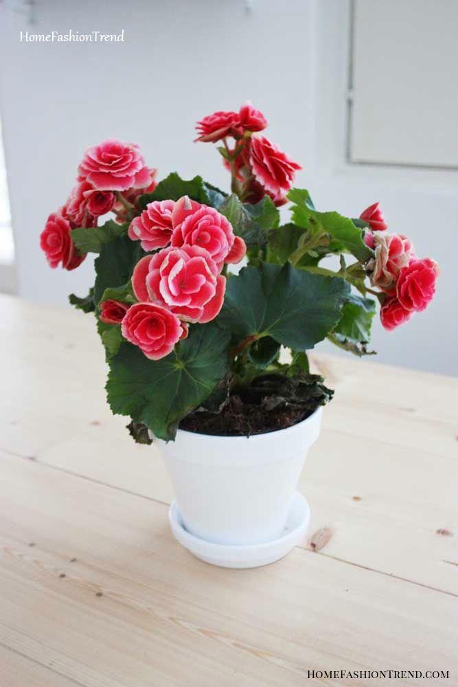 Vaso de cerâmica branca com begônia.