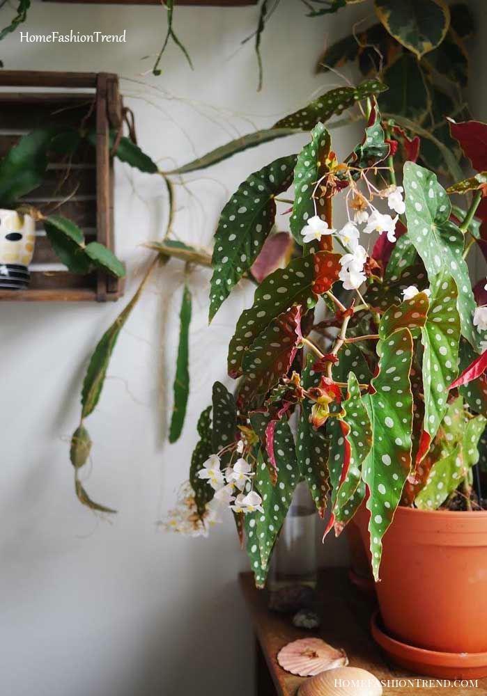 Vaso de barro com begônia maculata com flores.