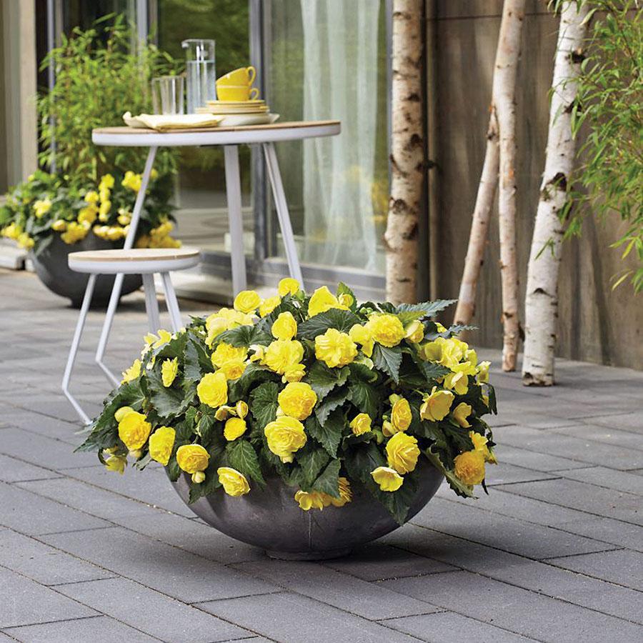 Jardineira de cimento com begônia amarela.