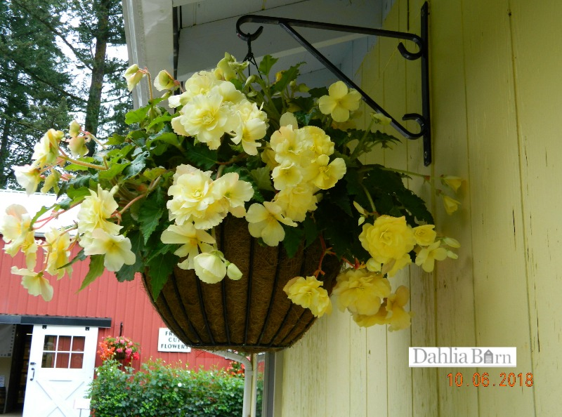 Vaso suspenso com begônia amarelo.