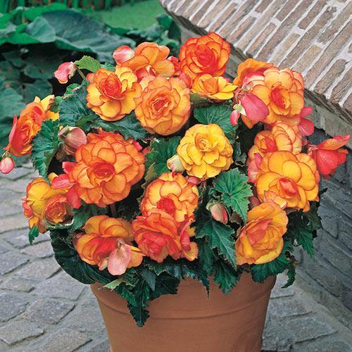 Vaso de barro com begônia amarela e laranja.