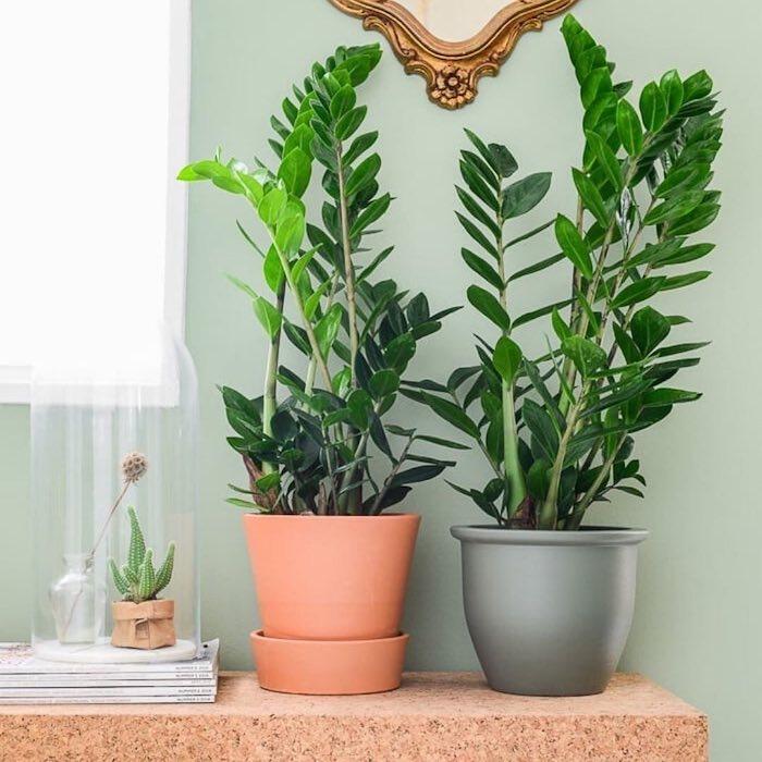 Vasos decorativos simples com zamioculca.