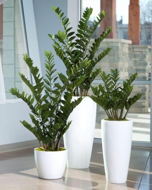 Vasos modernos e altos com zamioculca.