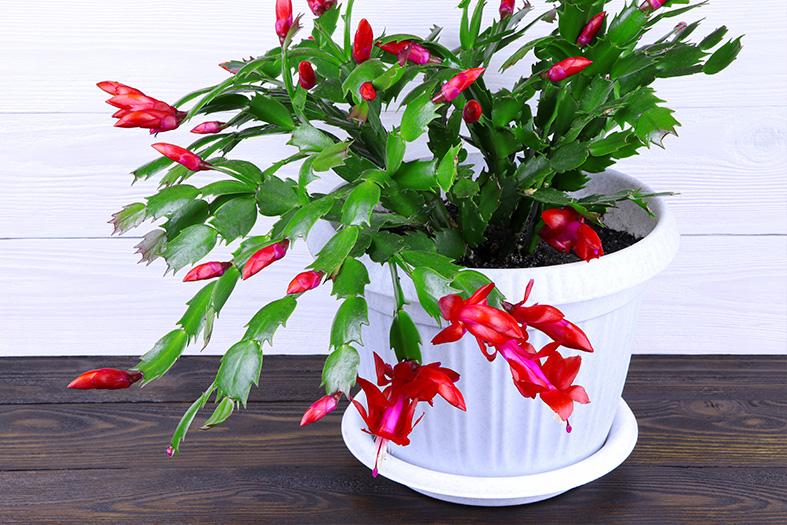 Vaso de cacto flor de maio.