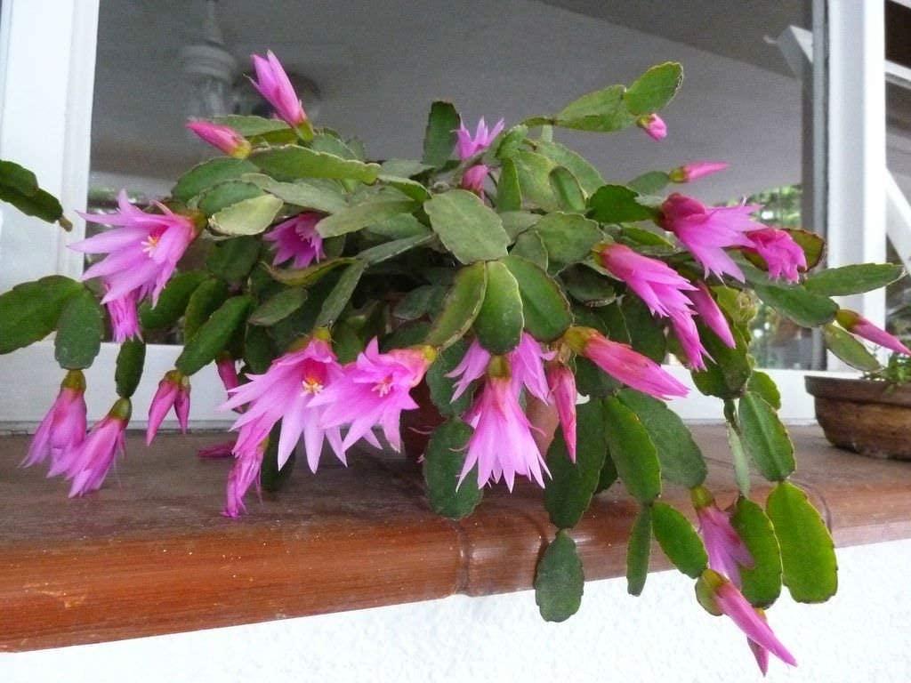 Vaso de cacto flor de outubro.