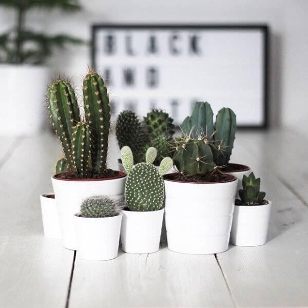 Vasos de mini cactos.