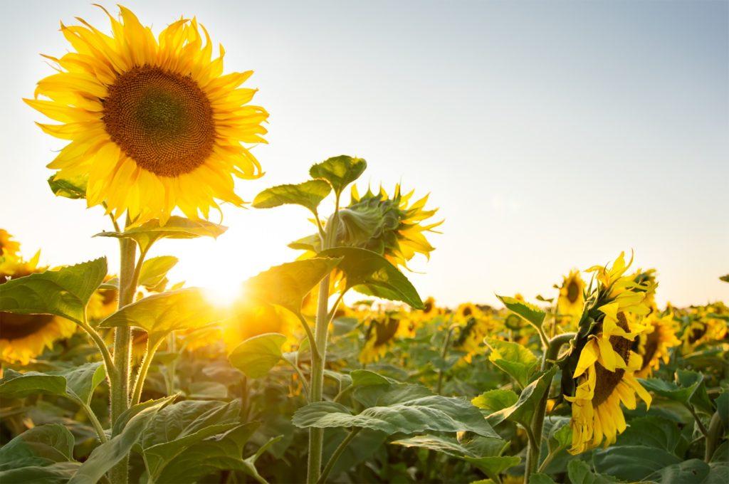 Tipos de flores: campo de girassois.