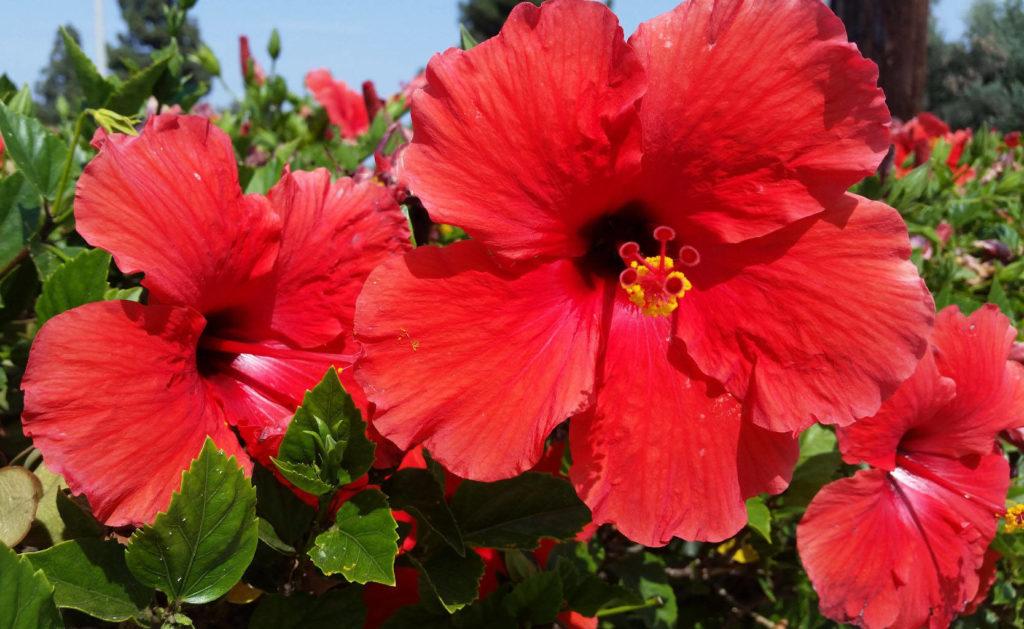 Tipos de flores: hibisco rosa-sinensis.