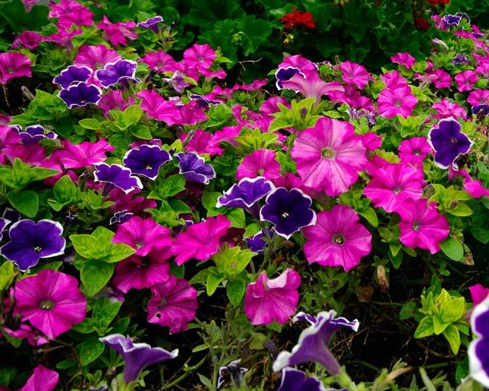 Tipos de flores: campo de petúnias.