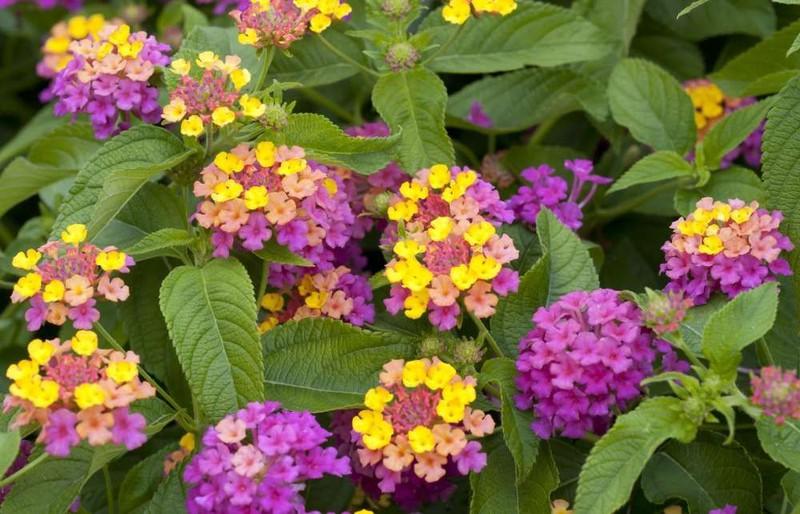 Tipos de flores: lantana roxa e amarela.