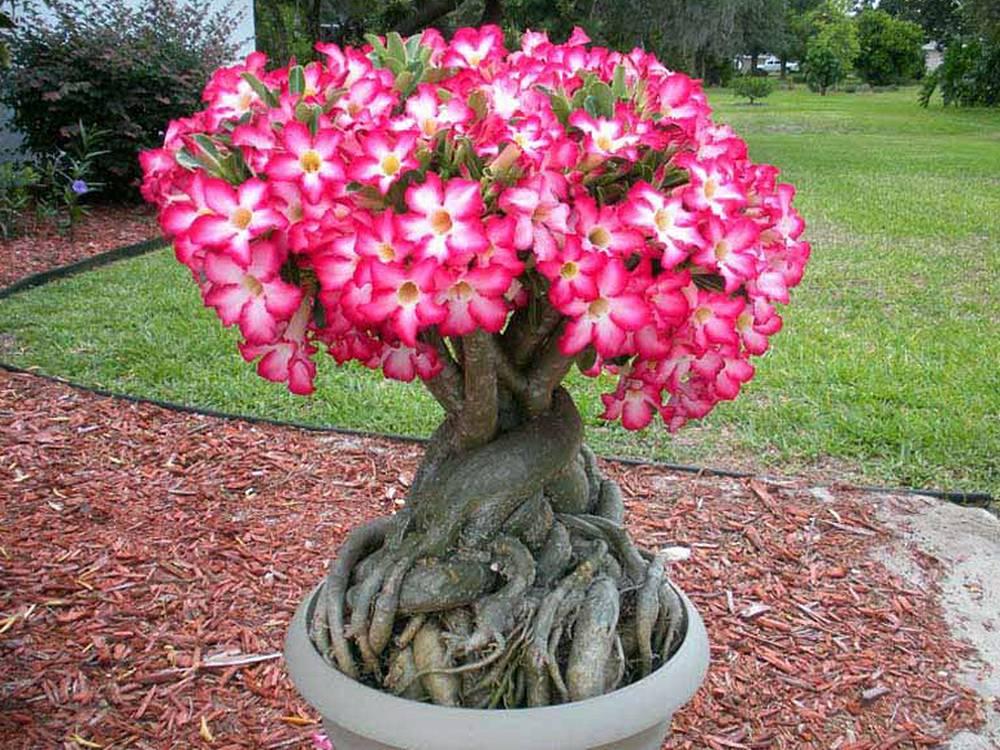 Tipos de flores: vaso de rosa do deserto.