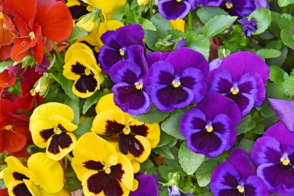 Tipos de flores: amor perfeito em diferentes cores.