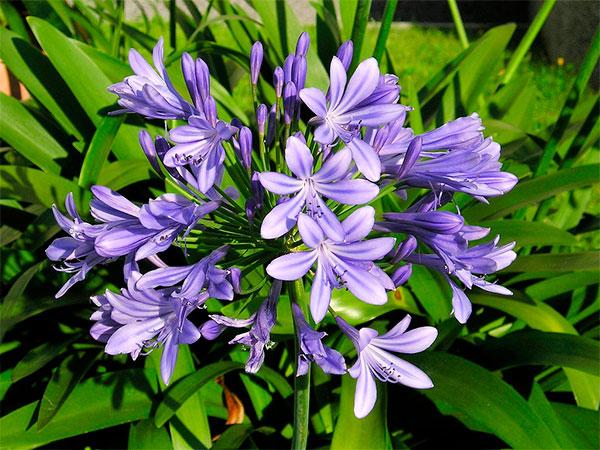 Tipos de flores: buquê de agapanto.