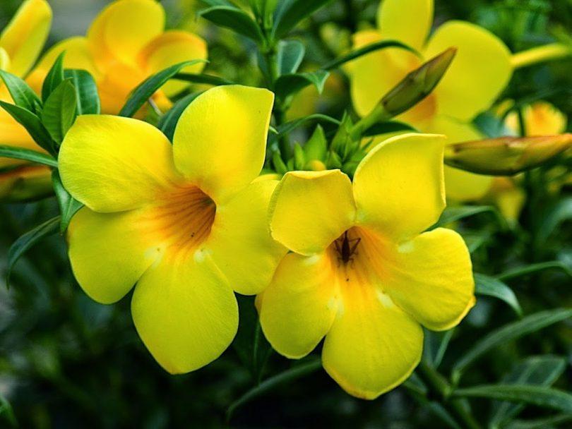 Tipos de flores: ramo de alamanda.