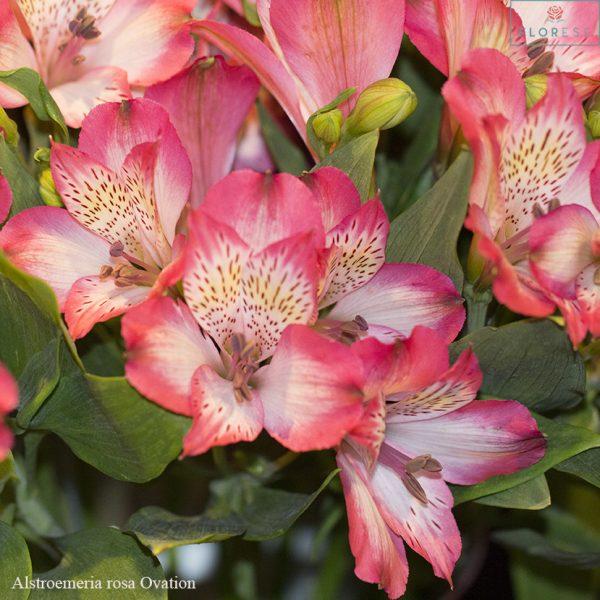 Tipos de flores: astromélia rosa.