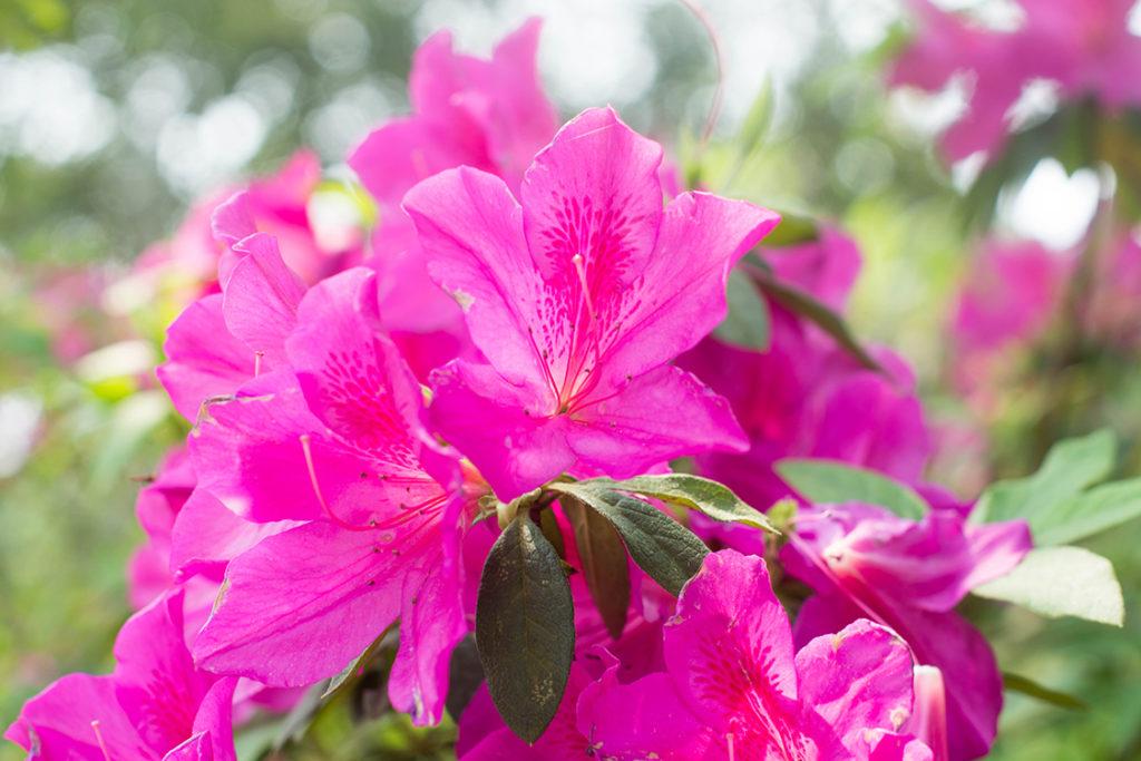Tipos de flores: azaleia rosa.