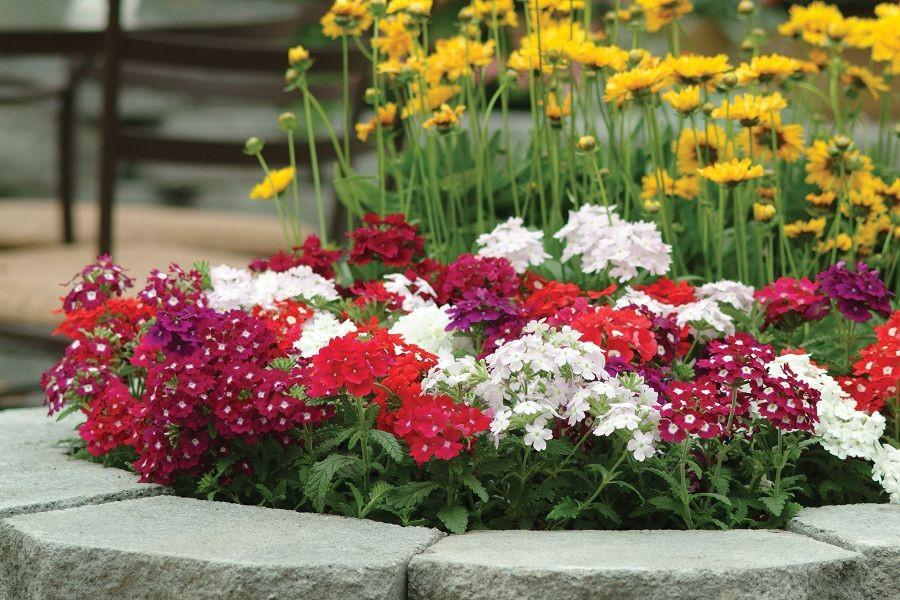 Tipos de flores: canteiro de verbena.