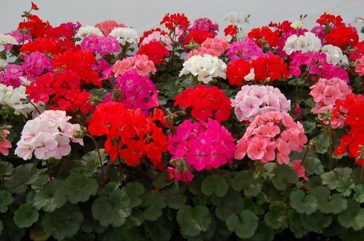 Tipos de flores:  canteiro de gerânio.