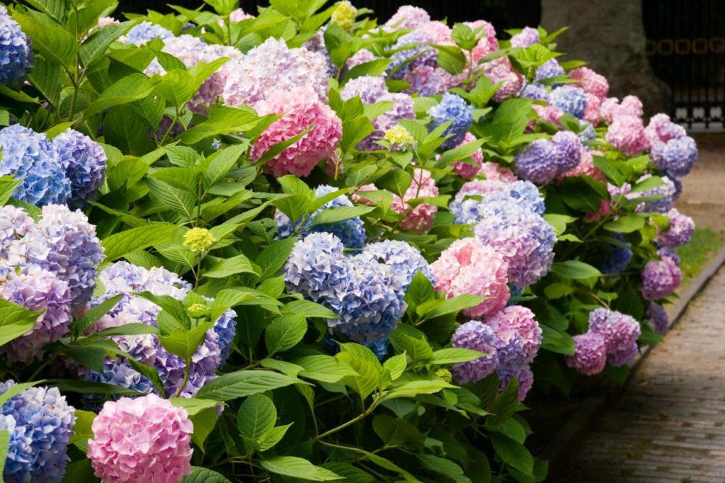 Tipos de flores: canteiro com hortências coloridas.