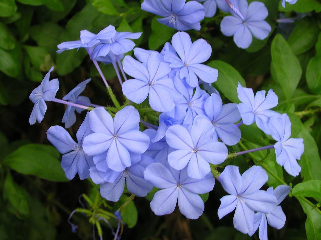 Tipos de flores: buquê de Bela Emília azul.