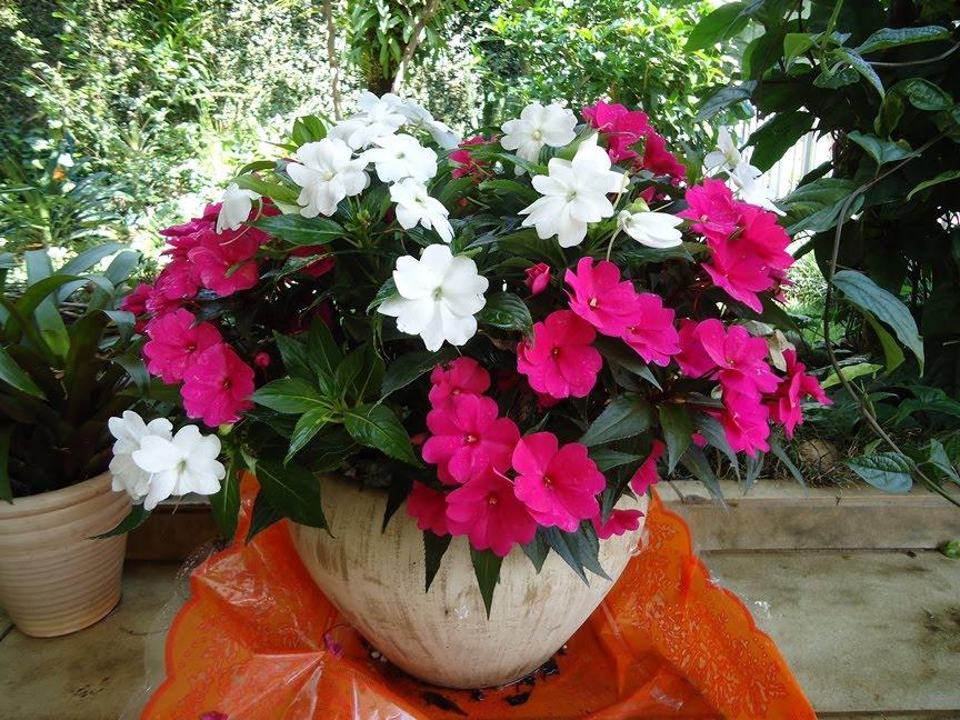 Tipos de flores: vaso de beijo-pintado.