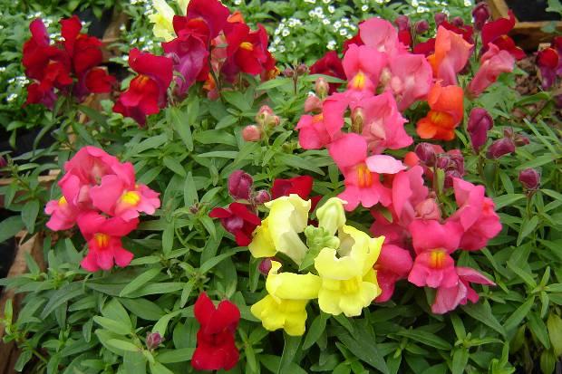 Tipos de flores: boca de leão com diferentes cores.