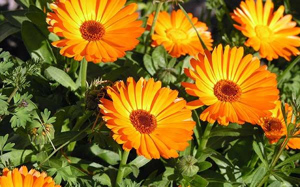 Tipos de flores: calêndula.