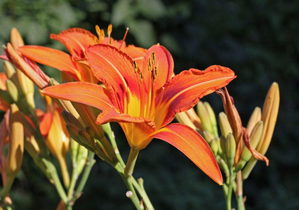 Tipos de flores: hemerocale.
