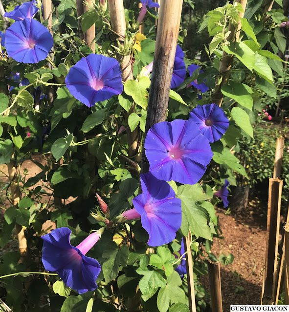 Tipos de flores: ipomeia com flores roxas.