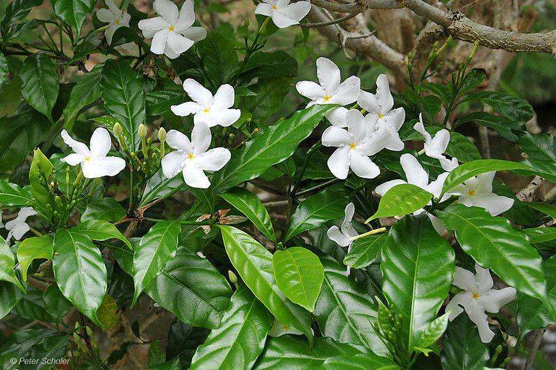 Tipos de flores: jasmim-café florida.