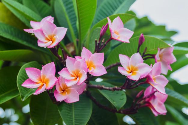 Tipos de flores: jasmim manga com flores rosa.